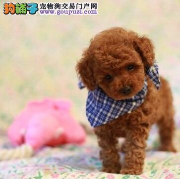 佛山知名犬舍特价出售多窝泰迪犬 实物拍摄 实体店面