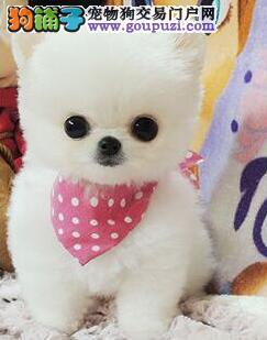北京精品高品质博美犬幼犬热卖中可刷卡可视频