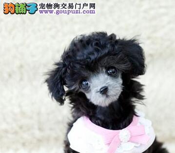 南京大型养殖场出售完美品相的贵宾犬 可打电话预定