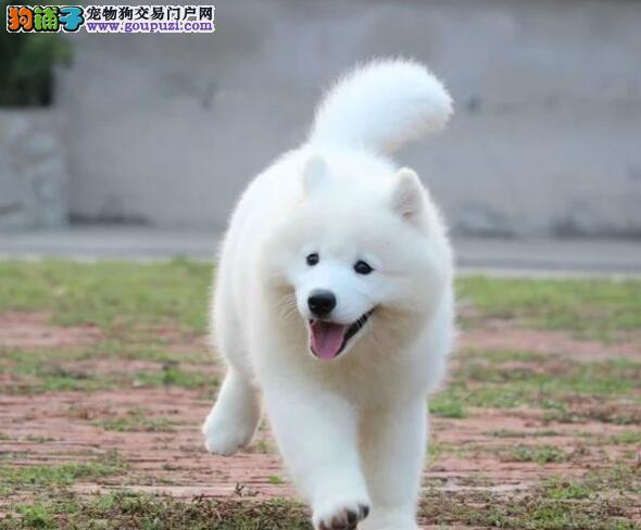转让纯种微笑天使北京萨摩耶 可办理血统证书保证质量