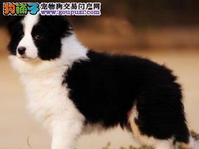 专业犬舍直销天津边境牧羊犬好品相保证健康