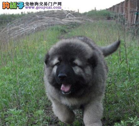 吐鲁番大型培育中心出售高加索犬 可以享受多种优惠