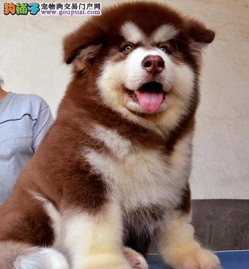 正规狗场阿拉斯加雪橇犬,保纯种健康,合同三包可送货