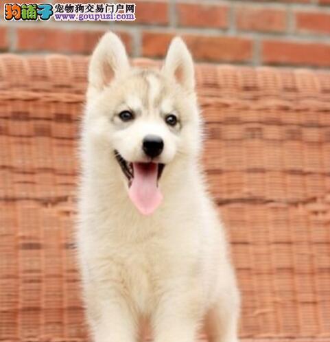 经典三把火双蓝眼哈士奇长春火爆出售 堪称最帅名犬