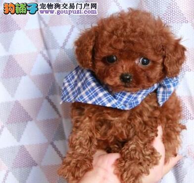出售聪明伶俐宜宾泰迪犬品相极佳当日付款包邮