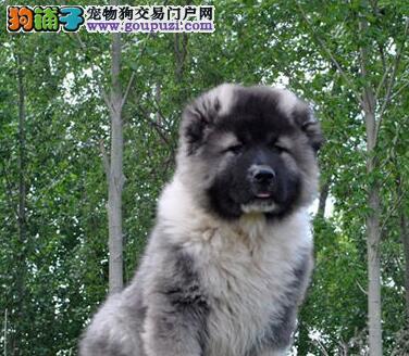 天津狗场转让高加索犬售后可签订购买协议