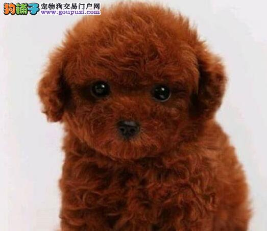 泰迪犬幼犬出售中,一宠一证证件齐全,三包终生协议
