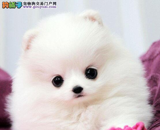 犬舍直销品种纯正健康金昌博美犬赛级品质保障