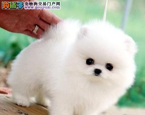完美品相身体健康的博美犬热卖中 洛阳市内免费送货