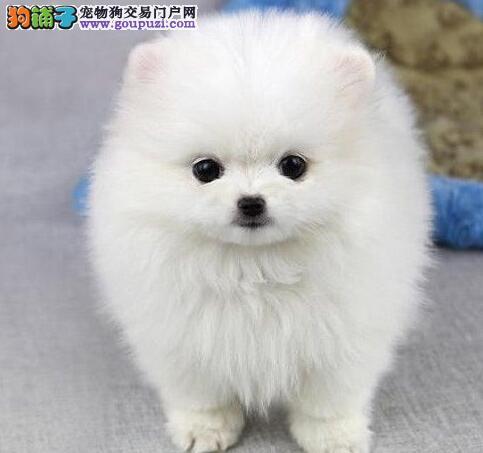 繁殖基地出售多种颜色的博美犬购犬可签协议
