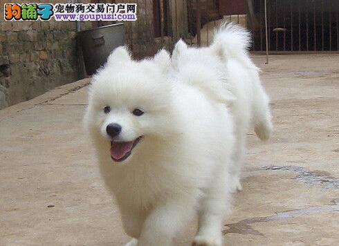 实体店低价促销赛级萨摩耶幼犬签署各项质保合同