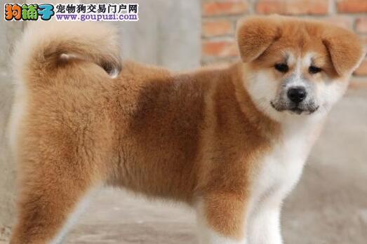热销多只优秀的银川纯种秋田犬幼犬签订终身协议