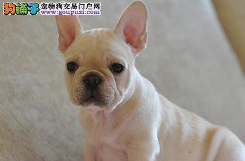 纯血统法国斗牛犬幼犬,保证品质一流,三年联保协议