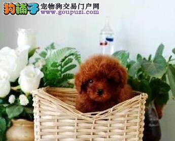 高品质韩系泰迪犬无锡狗场直销中 已接种疫苗