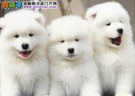雪白色没有杂毛的萨摩耶幼犬找新家 呼和浩特市内送货
