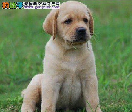 深圳自家犬舍出售精品拉布拉多犬 驱虫疫苗已做好