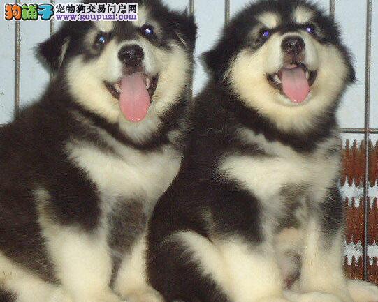 郑州CKU认证犬舍出售高品质阿拉斯加犬可刷卡可视频
