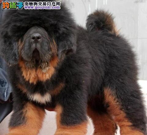 顶级血统精品藏獒犬幼崽欢迎爱獒者来选购