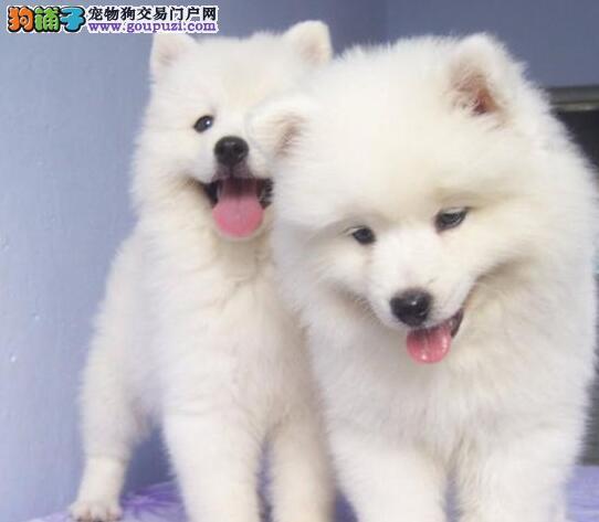实体店热卖萨摩耶颜色齐全微信咨询看狗狗视频