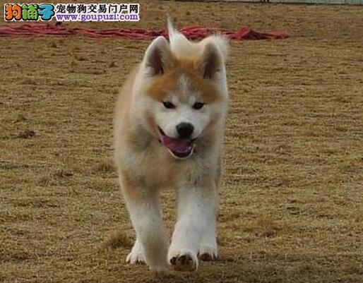 鹤岗实体店低价促销赛级秋田犬幼犬当日付款包邮