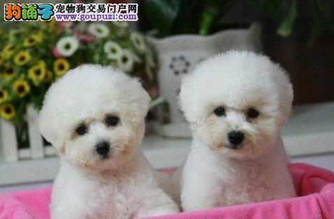 棉花糖甜美脸型的东莞比熊犬优惠出售中 狗贩子勿扰