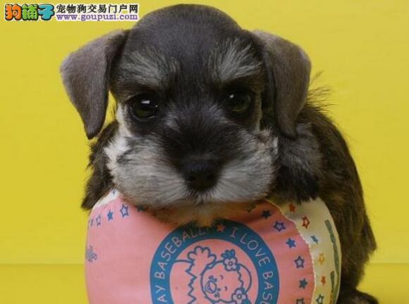 赛级双血统椒盐色雪纳瑞幼犬 可以注射芯片颁发证