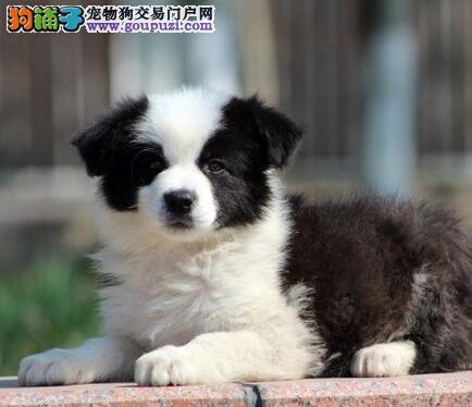 纯种广州边境牧羊犬狗场热销 支持全国空运发货保品质