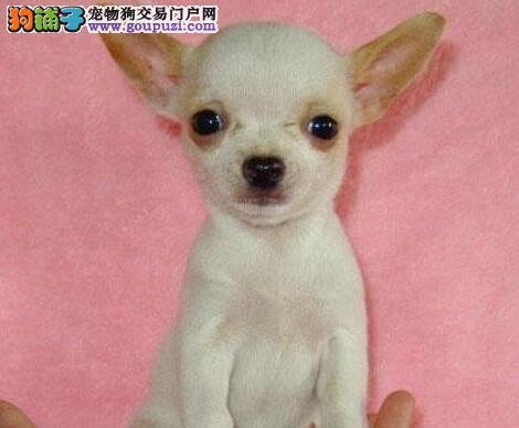 超小体苹果头大眼睛的杭州吉娃娃幼犬出售 包终身售后