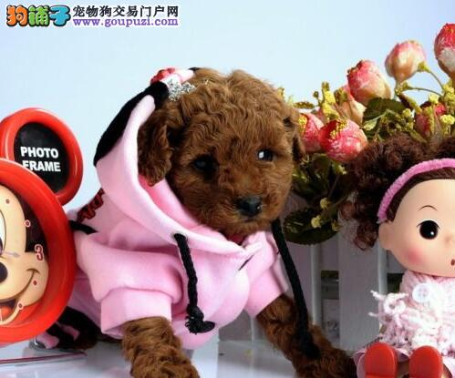 多种颜色的东莞贵宾犬任君选择 随时上门选购看种犬