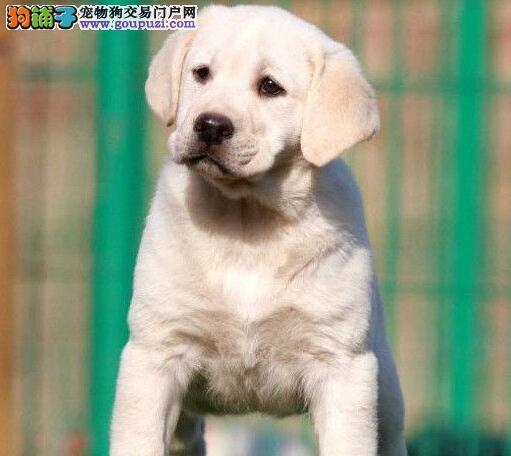 出售多种颜色南阳纯种拉布拉多幼犬CKU认证品质绝对保障