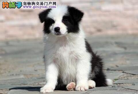 东莞知名犬舍出售七白到位的边境牧羊犬 签订协议