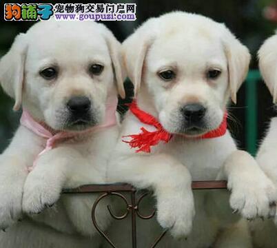 导盲犬拉布拉多重庆特价出售 嘴宽骨量毛量大 快来哦