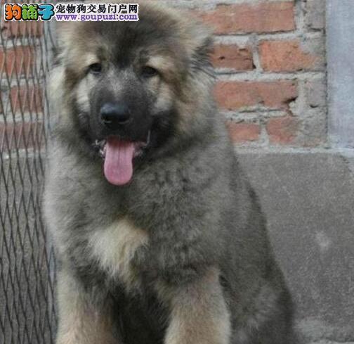 南京狗场出售高加索犬大骨架带芯片售后三包