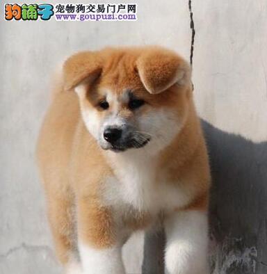 特价出售纯种秋田犬南京市区可办理血统证书