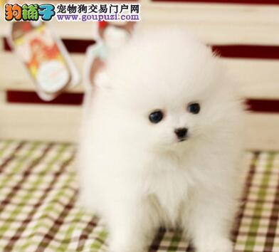 出售多种颜色纯种博美犬幼犬可直接微信视频挑选