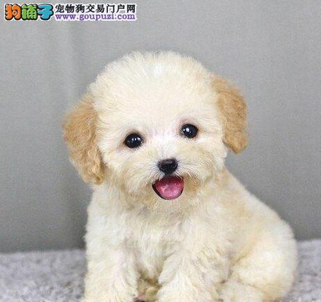 自家繁殖极品泰迪犬出售南京地区购犬送狗粮