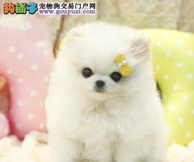 大型狗场促销球形博美犬南京地区购买可优惠