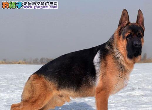 太原诚信基地直销德国牧羊犬可办理血统证书