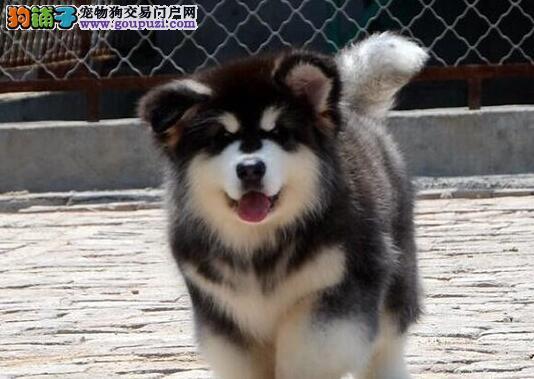 出售纯种阿拉斯加幼犬 赛级血统 品相一流 签订协议