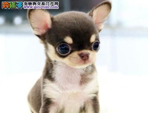 出售纯种健康的广东吉娃娃幼犬优质售后服务