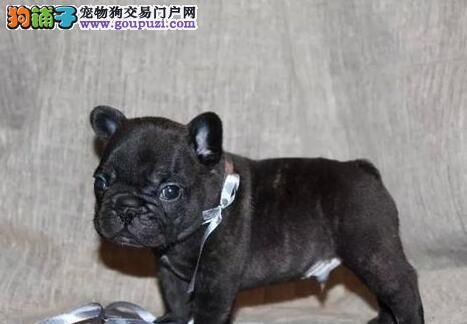 出售多种颜色杭州纯种法国斗牛犬幼犬优惠出售中狗贩子勿扰