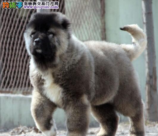 出售纯种健康熊版巨型合肥高加索犬 可随时视频看种犬