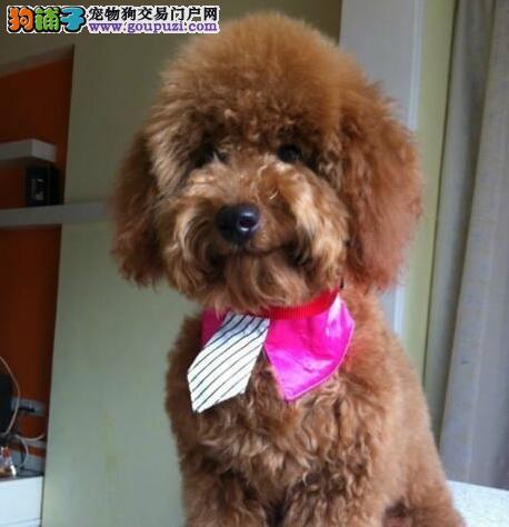 玩具型贵宾犬出售 宠物狗茶杯型贵宾犬 迷你型贵宾犬