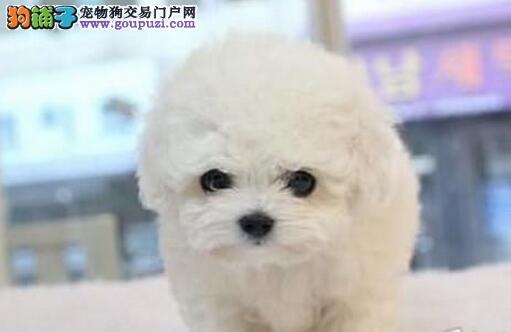 重庆出售颜色齐全身体健康比熊微信咨询看狗狗视频