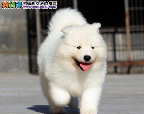 出售洁白无瑕的三亚萨摩耶犬 请您放心选购