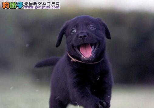 转让自家繁殖的太原拉布拉多犬 三个月内免费退换
