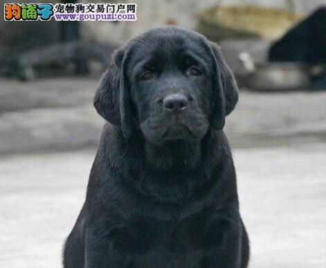 杭州狗场繁殖的拉布拉多宝宝,头大最宽,毛色好,品相佳