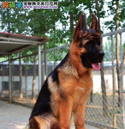 出售顶级锤系头大嘴宽的德国牧羊犬 可以来场挑选
