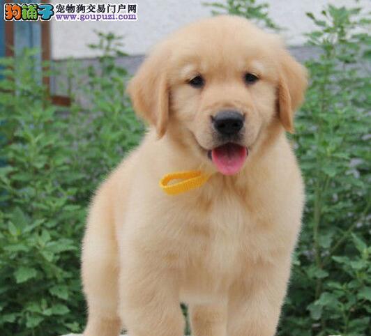 家庭式繁殖纯血统金毛犬出售 太原市内免费送货