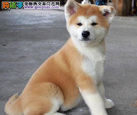高贵典雅纯种秋田犬幼犬出售中
